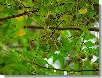 Neem seed